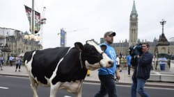 Cows, Tractors Take Over Parliament Hill During