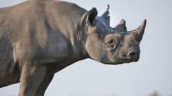 La Namibie vend trois rhinocéros pour une chasse aux