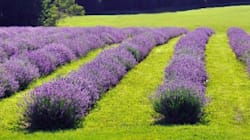 Bleu Lavande, des produits de beauté 100% québécois et naturels aux multiples vertus