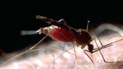 «Sauve qui pique!»: ces moustiques qui nous