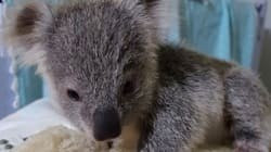 Ce minuscule bébé koala est devenu une