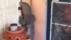 VIDEO: The Surreal Moment A Giant Monitor Lizard Knocked A Door In