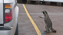 Rabid Hitchhiking Raccoon Blamed For Ontario Rabies