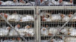The Slaughter Of Dogs In China Is Cruel, But So Is The Butchering Of Chickens In
