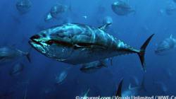 厳しい漁業規制が求められる太平洋クロマグロ IATTC会合始まる