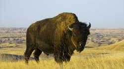 Studio 8 accusé d'avoir tué des bisons pour le film «The