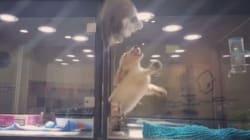 Un chaton s'échappe de son enclos pour aller jouer avec un