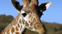 Giraffe Delivers Stillborn Calf On The Way To Calgary