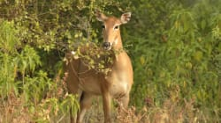 The Wild Injustice Of Culling Nilgai, Monkeys And Wild Boar As