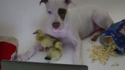 VIDEO: This Dog Adopting Abandoned Ducklings Is All Kinds Of
