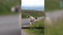 Mieux qu'un GPS, ces moutons vous indiquent votre chemin d'un coup de