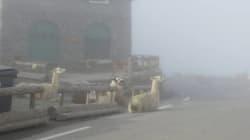 Pourquoi ces lamas se sont retrouvés sur la route du