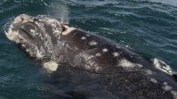 Deux baleines noires au nord d'Anticosti : des scientifiques appellent à la
