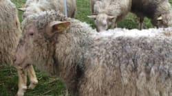 Huit moutons chargés de brouter le gazon à