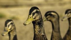 La grippe aviaire est de