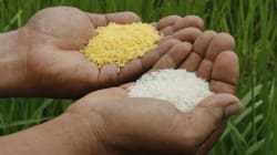 Genetically Modified Golden Rice Not The Cure-All Industry