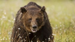 Second Alberta Bear Attack Sends Victim To