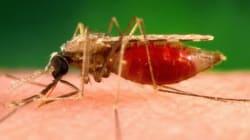 Le moustique responsable du paludisme craint l'odeur du