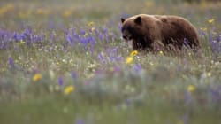 This Year's Berry Crop Is Drawing Bears To Alberta