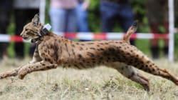 Ces lynx slovaques lâchés en Allemagne vont repeupler les