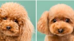 Prima e dopo l'acconciatura, 7 cani che vi scioglieranno il