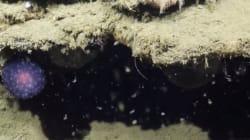 Cette chose violette trouvée au fond de l'océan laisse les scientifiques perplexes