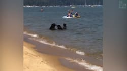 Cet été, cette famille d'ours a décidé d'aller à la plage, comme tout le