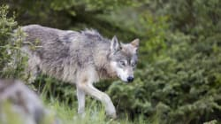 'Bold' Wolf Forces Closure Of 2 Banff