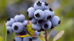 Les producteurs de bleuets craignent des prix inhabituellement