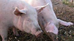 La SPCA dénonce le Festival du cochon de