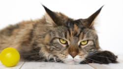 Votre chat est un être diabolique, la preuve en