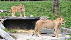 La gardienne attaquée par une lionne au Zoo de Granby va
