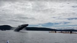 Humpback Whales Put On One Hell Of A Show For B.C.