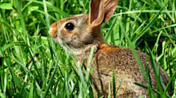 Feral Rabbits To Be Sterilized In