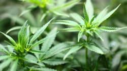 Cannabis: vietare non è mai un