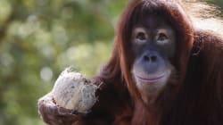 L'orang-outan pourrait totalement disparaître dans 10