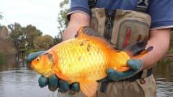 Non buttate i pesci rossi nei fiumi e nei laghi: diventano così (e sono