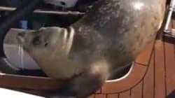 Ce phoque saute sur un bateau pour échapper à des orques