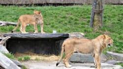 Attaque d'une lionne: les causes