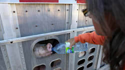 Activist On Trial For Giving Pigs Water On Hot