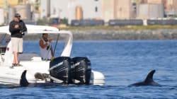 Seal Borrows Boat To Escape Killer Whales Like A