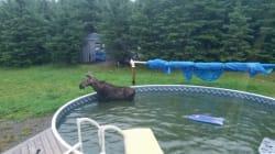 Un orignal coincé dans une piscine à Saint-Hilaire
