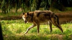 Un loup abattu dans la