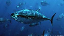 危機続く太平洋クロマグロ WCPFC北小委員会会合はじまる