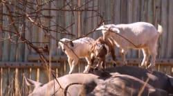 Ces chèvres vivent en harmonie avec des