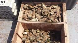 Rappel d'huîtres contaminées à la