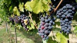 Une cuvée 2016 exceptionnelle prévue pour les vins du