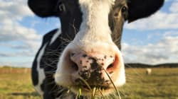 P.E.I.'s Burping, Farting Cows Fed Seaweed To Save The