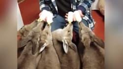 Ces jeunes kangourous sont