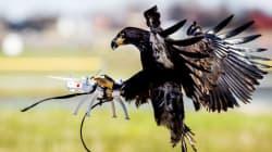 Pour capturer les drones, les policiers auront... des aigles!